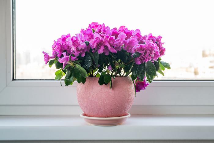 Azalea-plantes-fleurs-plante purifiante-assainir-intérieur
