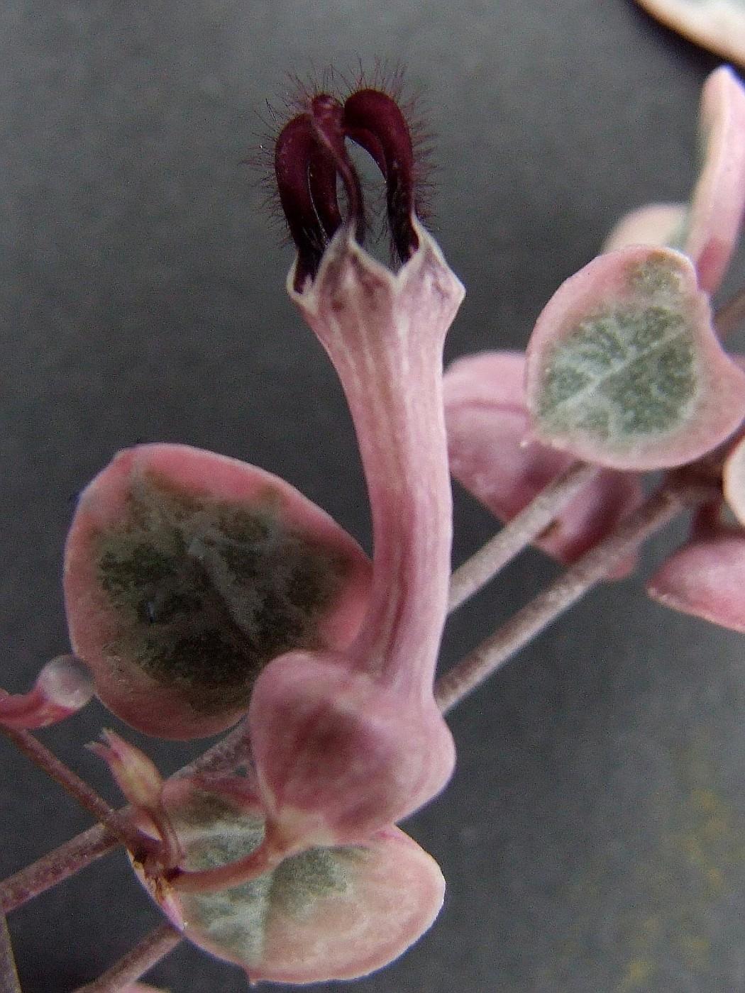 ceropegia-rose-succulente-grasse-les-cactus-aloes