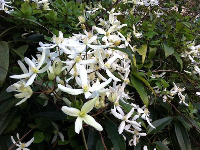 clematis-armandii-fleurs-hiver-plante-automne
