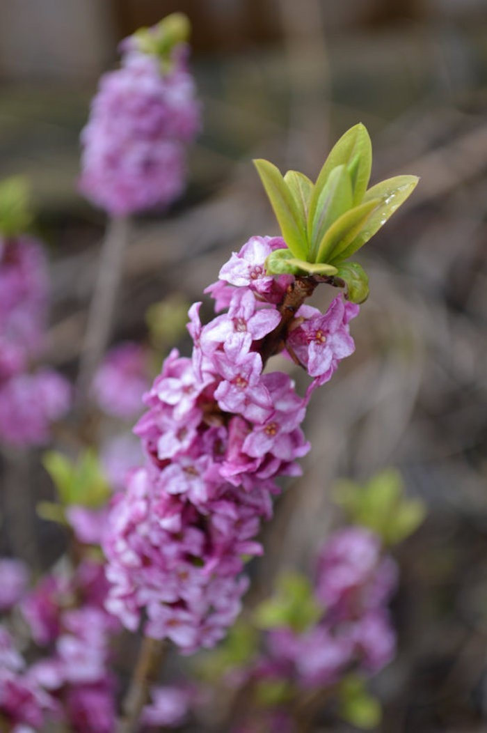 daphne-mezereum-daphnes-fleurs-d-hiver-rose-fevrier