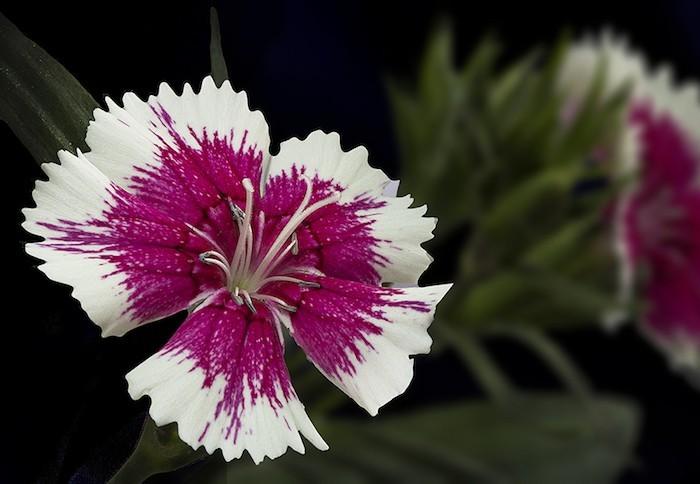 dianthus-barbatus-oeillets-hiver-plantes-fleurs