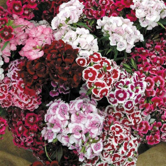 dianthus-barbatus-oeillets-poetes-fleurs-dhiver