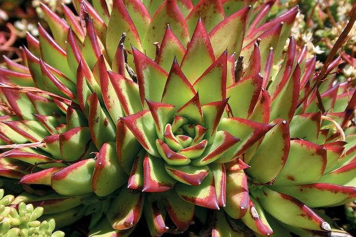 echeveria-agavoid-plantes-succulentes-grasse-exterieur