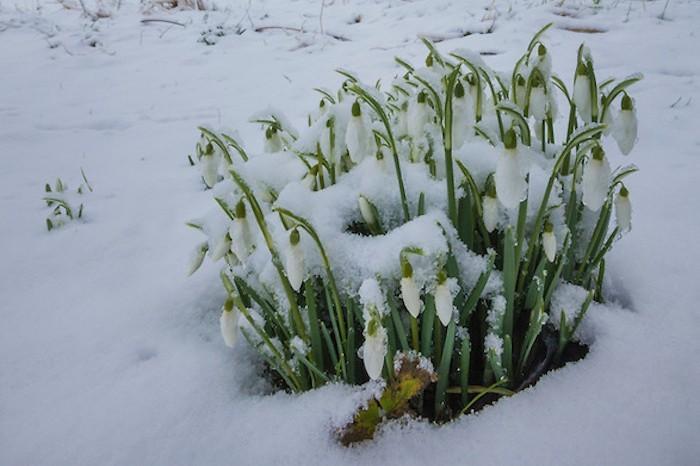 Galanthus nivalis perce neige fleurs d-hiver jardin