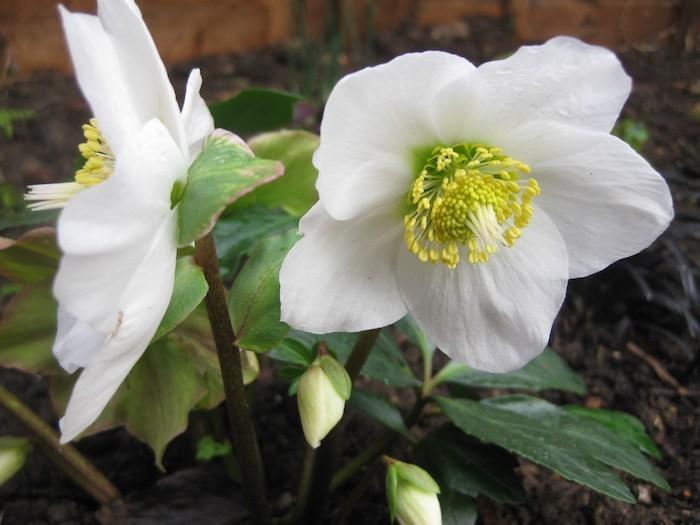 helleborus-niger-fleur-automne-fleurs-d-hiver