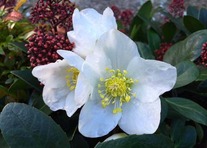 helleborus-niger-plante-hiver-automne-fleurs-dhiver