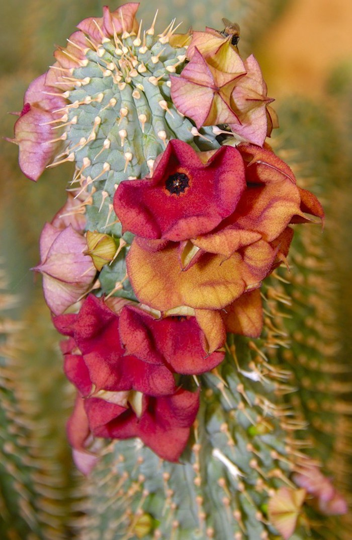 Hoodia Ruschii-les cactusbouture plante grasse a fleur-succulent
