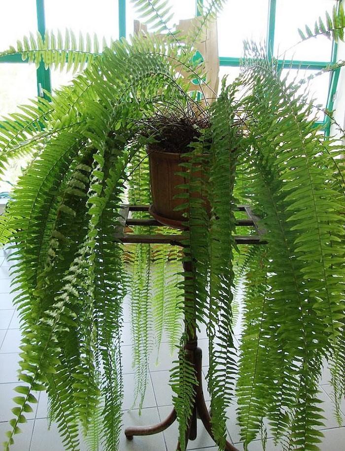 nephrolepis-boston-fern-plante-pufifier-piece-toxique-interieur-air-fougère-Bostonienis