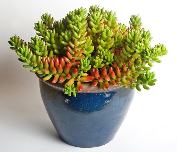 sedum-rubrotinctum-plantes-grasses-d-interieur-plantes-succulentes-en-pot