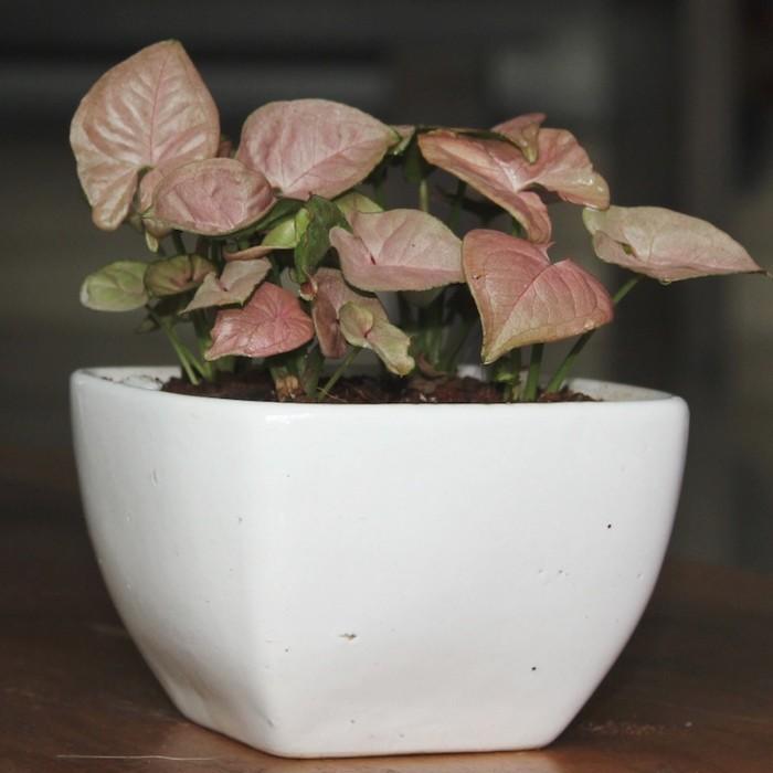 syngonium-plante-pour-chambre-depolluante-purifiante-interieur
