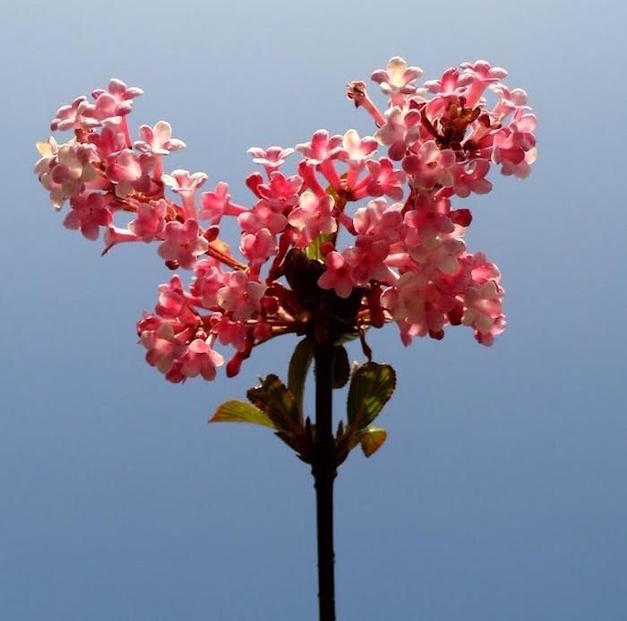 viburnum-x-bodnantense-les-viornes-fleurs-d-hiver-roses
