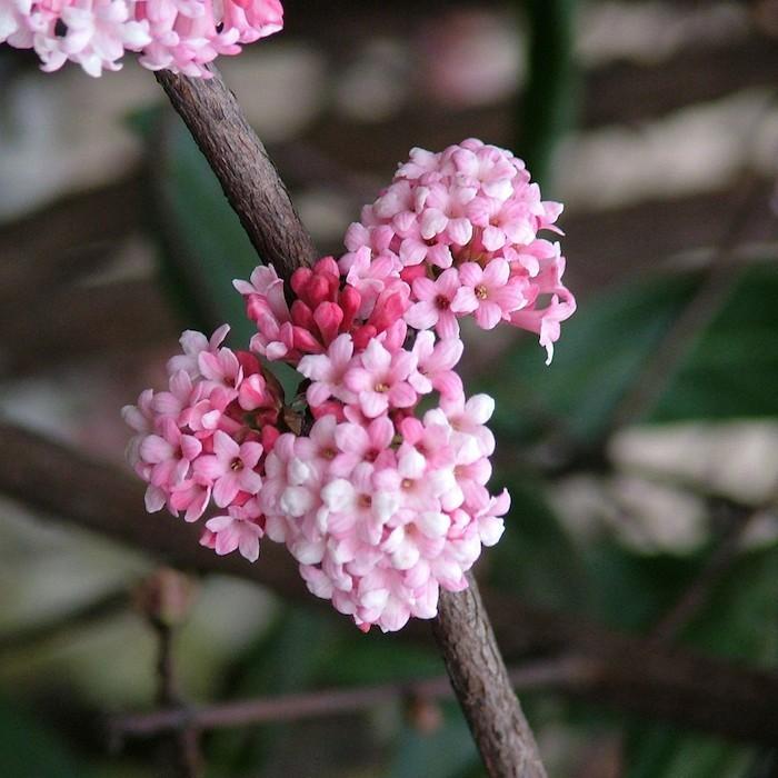 viburnum-x-bodnantense-plante-hiver-fleurs-d-hiver-automne