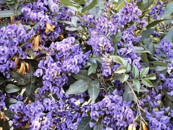 violaceae-violettes-pensees-viola-fleur-hiver