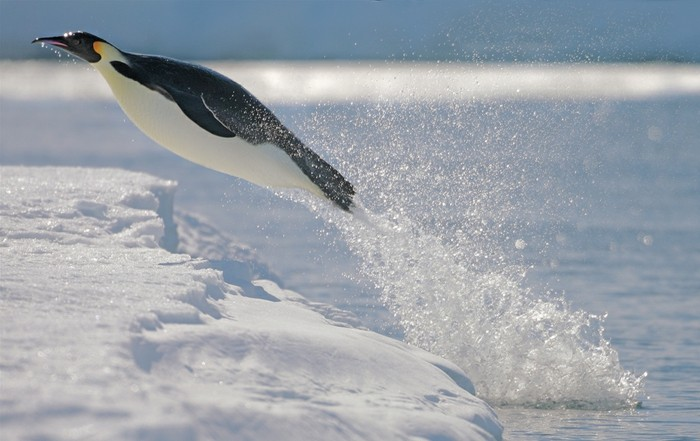 admirable-manchot-empereur-les-manchots-penguin-en-vol