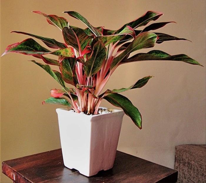 aglaonema-plante-anti-pollution-purifiante-assainissante-pour-chambre-depolluante