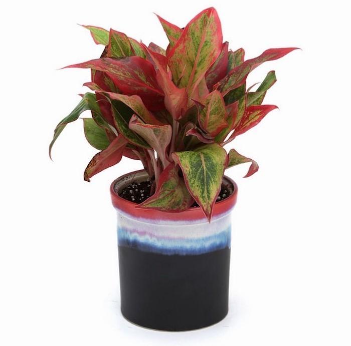 aglaonema-plante-interieur-depolluante-assainissante-purifiante-detoxifiantes-chambre