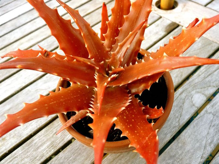 aloe-vera-plante-succulente-plantes-grasses-aloes
