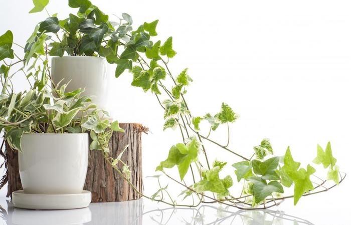 assainir-l-air-lierre-plante-depolluante-plantes-depolluantes-pour-chambre
