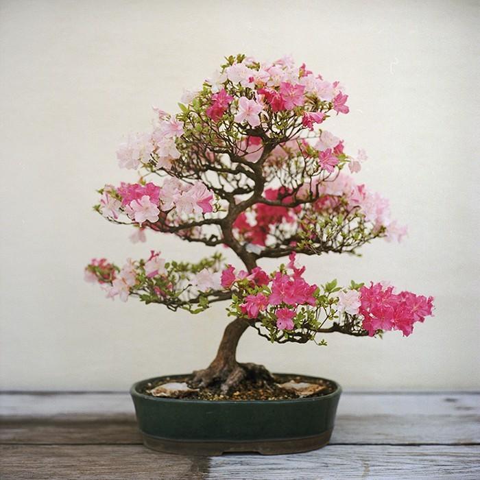 azalee-bonsai-rose-rouge-plante-pour-chambre-depolluantes