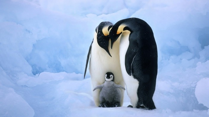 bebe-et-parents-ou-vivent-les-pingouins-petit-manchot