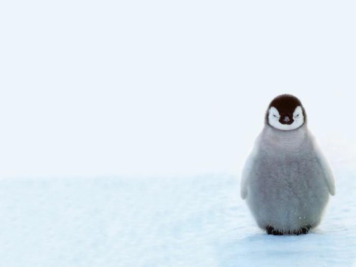 bebe-manchot-pingouin-empereur-belle-image-chouette-photo-bebe-pinguin