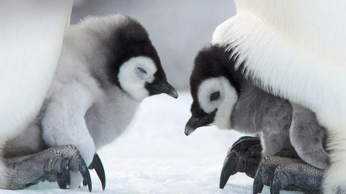 bebe-manchot-pingouin-empereur-belle-image-maman-et-bebes
