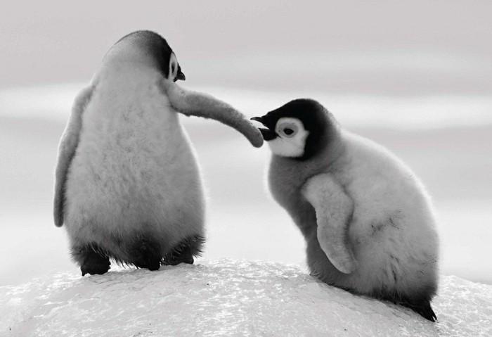 bebe-manchot-pingouin-empereur-belle-image-photo-amusante