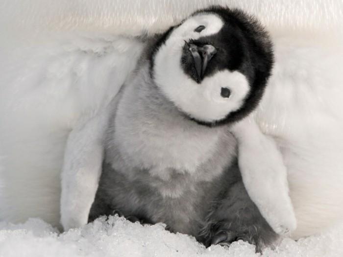 bebe-manchot-pingouin-empereur-belle-image-trop-joli