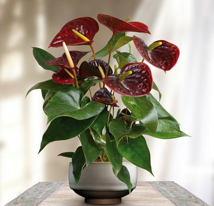 bouquet-anthurium-fleurs-rouges-plante-de-bureau