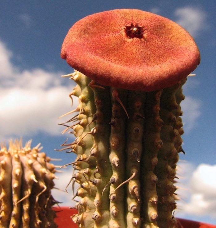 bouture-plante-grasse-fleurie-les-cactus-succulent