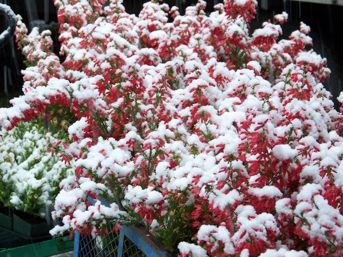 bruyere-erica-fleurs-dhiver-planres-resistantes-vivaces