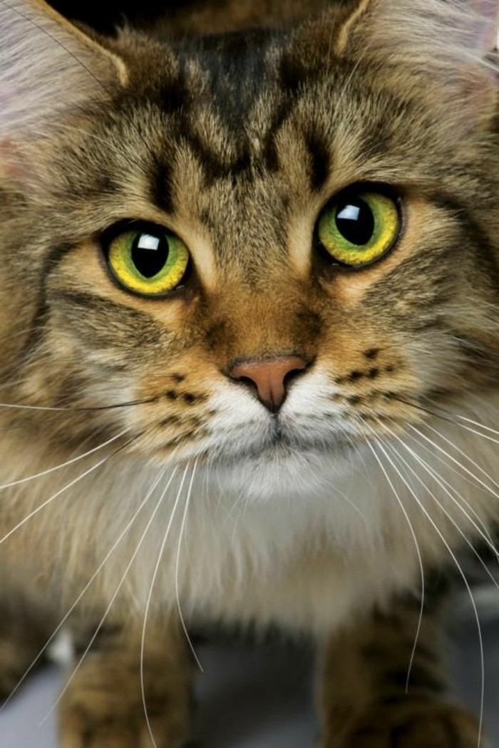 chat-maine-coon-au-regard-calme-et-innocent-le-plus-grand-chat-domestique