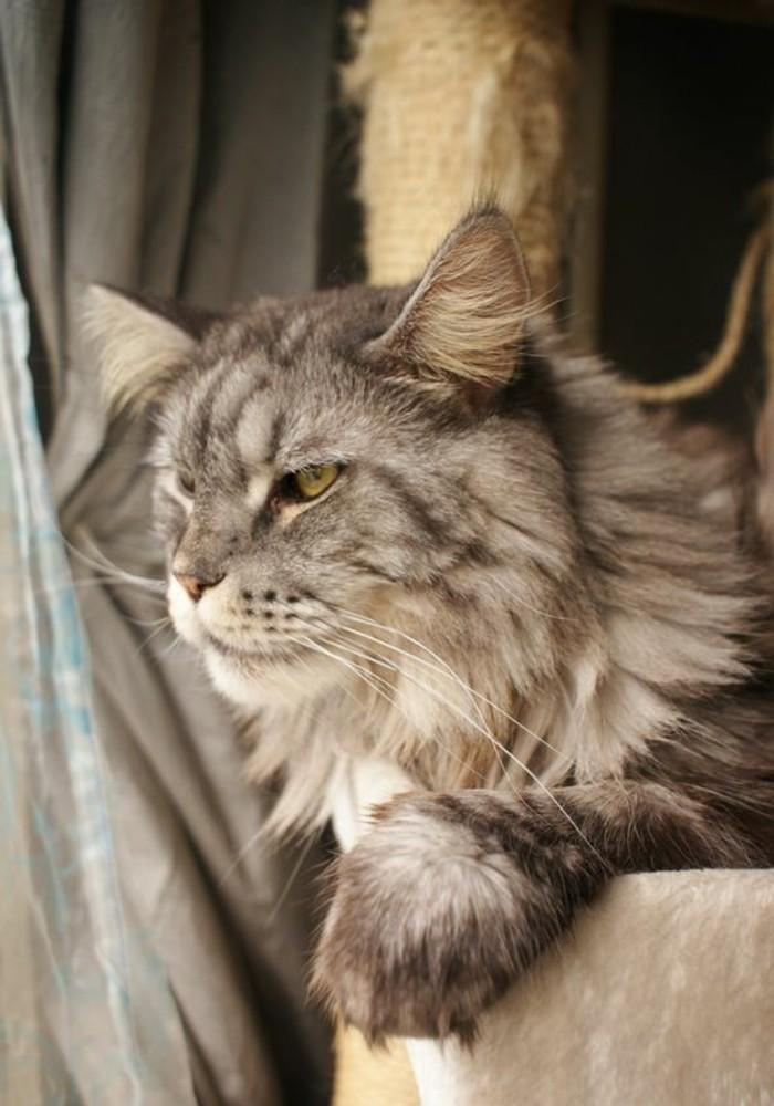 chat-maine-coon-aux-touffes-sur-ses-oreilles-et-a-poil-long