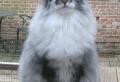 Le chat maine coon présenté en 69 photos amusantes