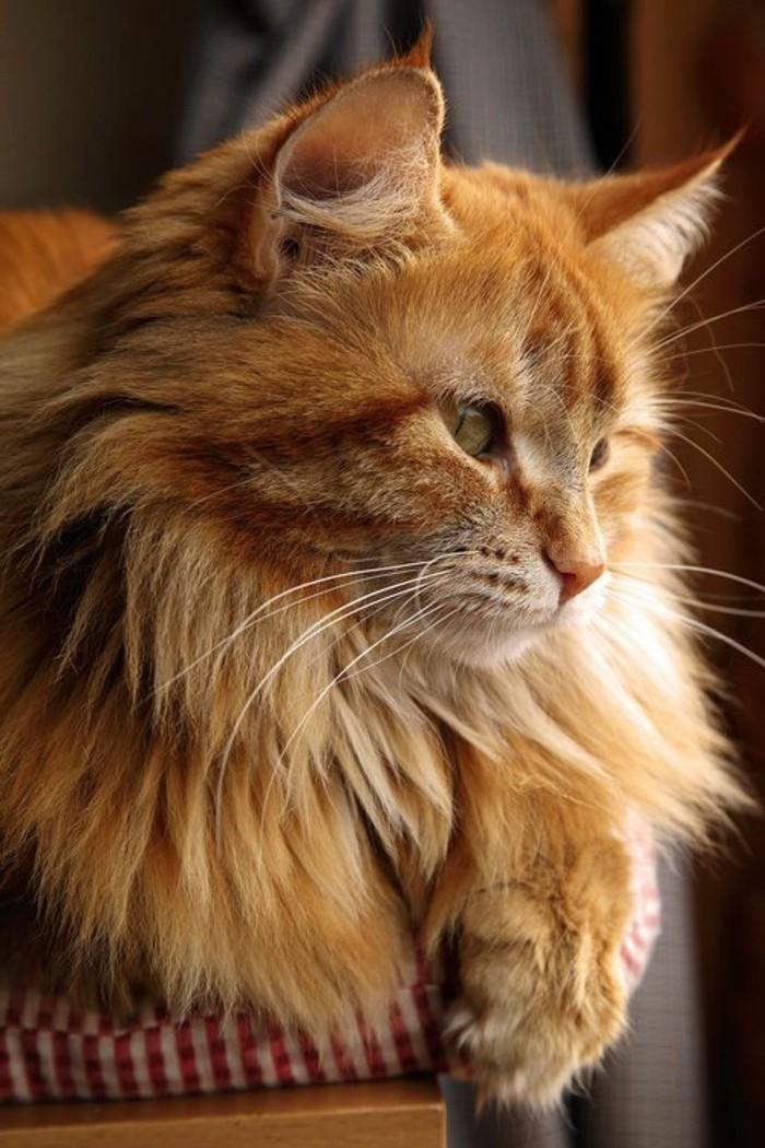 chat-maine-coon-caractere-doux-et-paisible-bon-avec-les-enfants