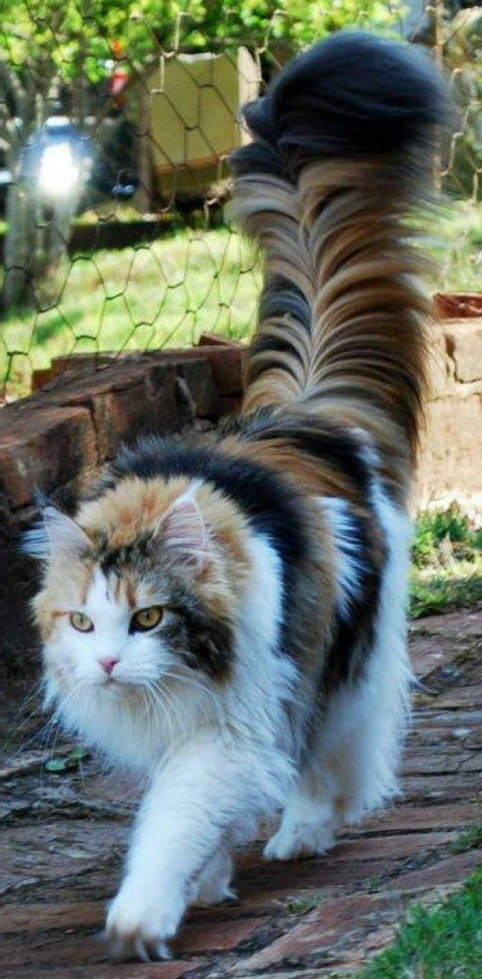 chat-maine-coon-chat-a-poil-long-trois-couleurs-et-queue-poileuse