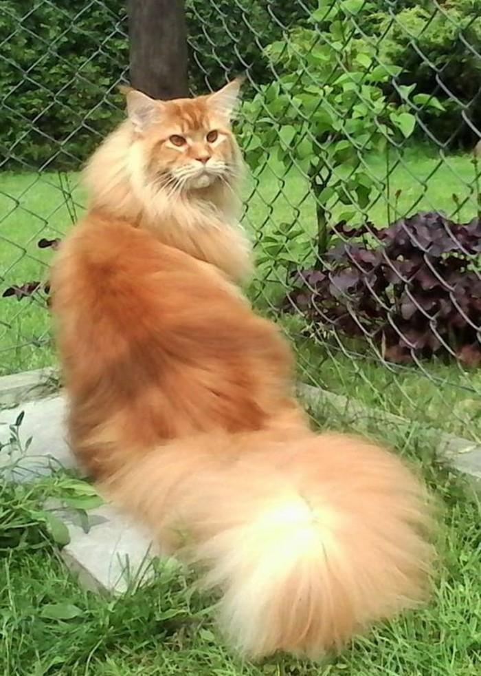 chat-maine-coon-chat-a-une-fourrure-moelleuse-et-une-queue-longue
