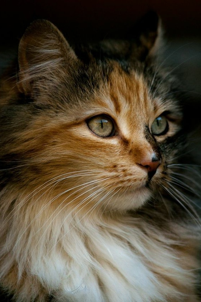 chat-maine-coon-chat-bariole-race-photogenique-petite-princesse