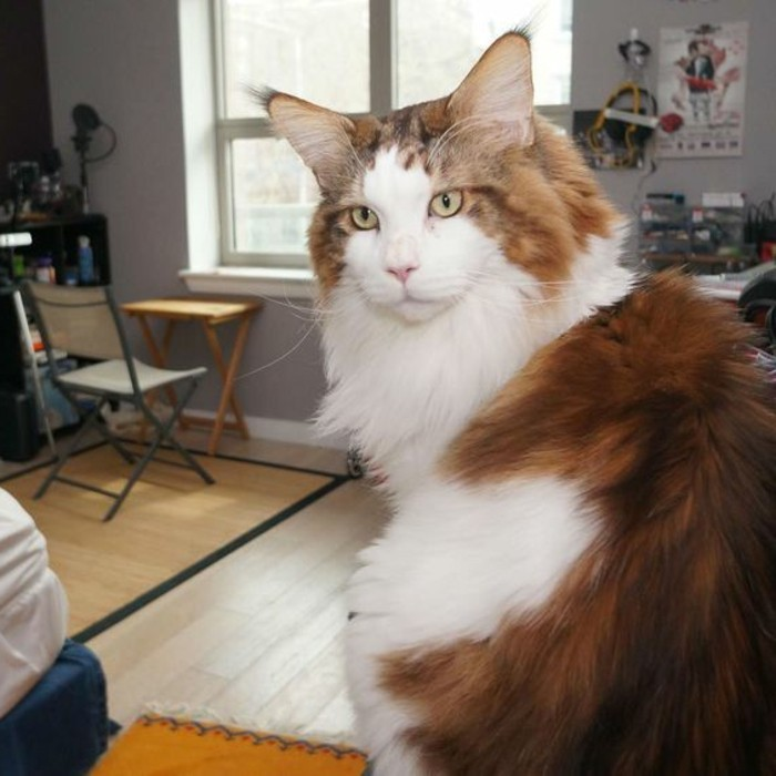 chat-maine-coon-chat-domestique-aimable-animaux-de-compagnie
