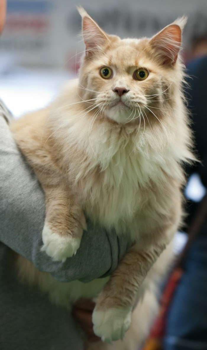 chat-maine-coon-chat-provenant-de-lamerique-du-nord