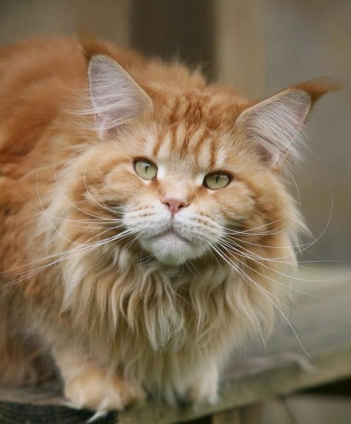 chat-maine-coon-chat-qui-aime-les-promenades-et-les-jeux