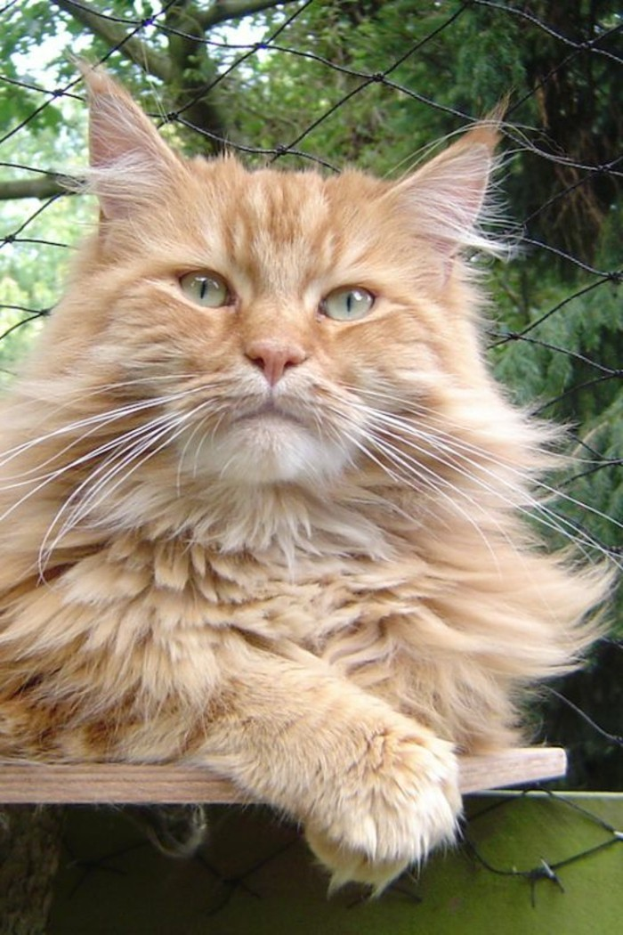 chat-maine-coon-chat-roux-yeux-verts-grandes-pattes