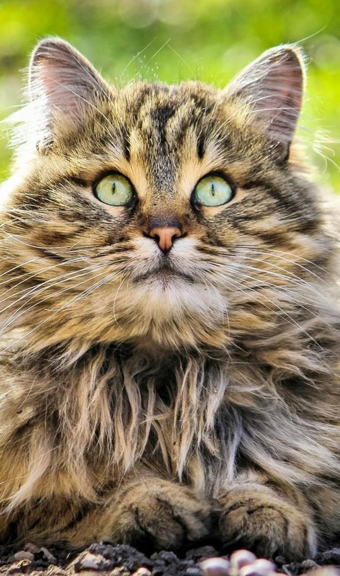 chat-maine-coon-chat-sympathique-aux-yeux-ecarquilles