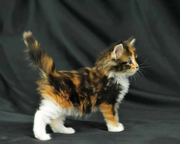 chat-maine-coon-chaton-mignon-de-la-race-des-main-coons