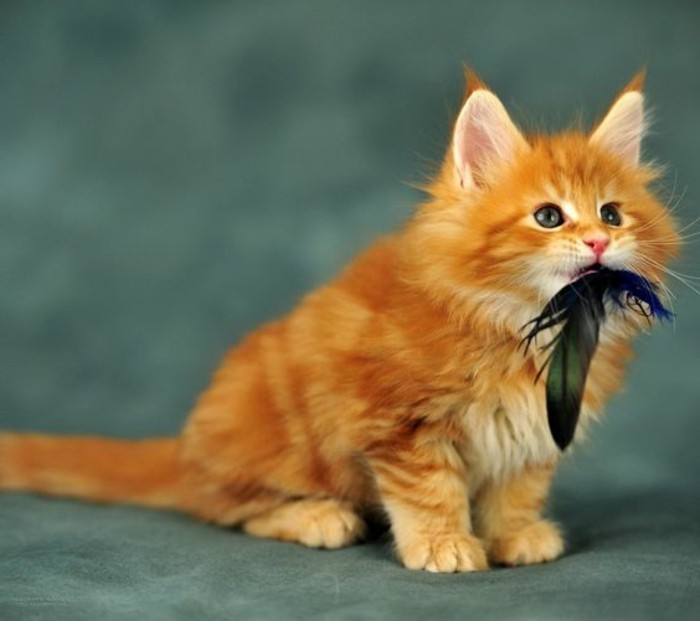 chat-maine-coon-chaton-roux-aimable-et-joueur