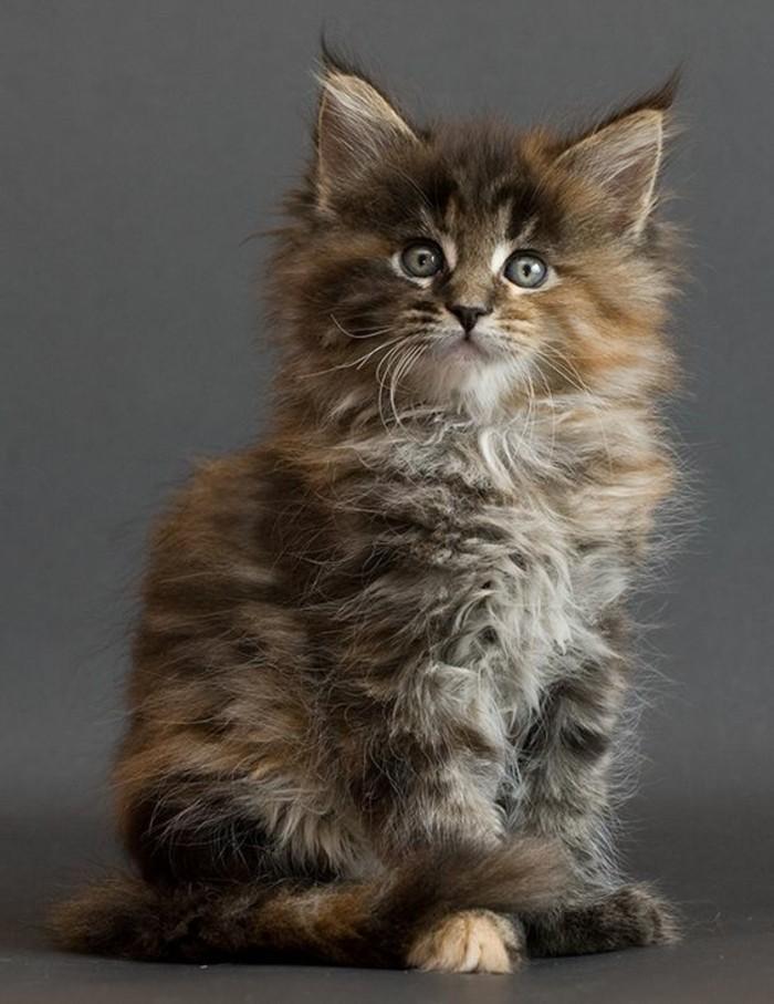 chat-maine-coon-chats-domestiques-de-race-maine-coone