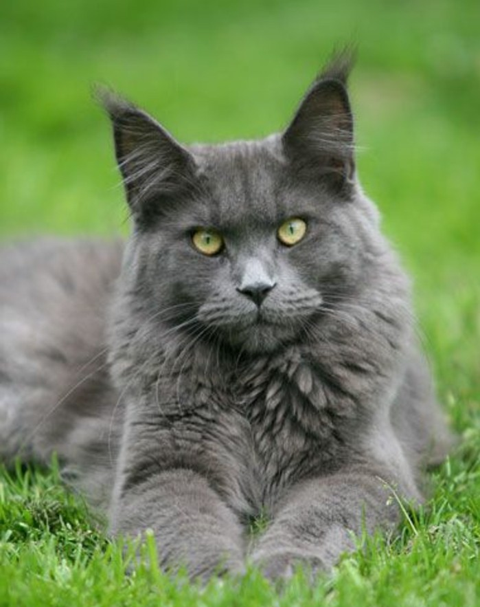 chat-maine-coon-couleur-bleue-chat-qui-se-repose-sur-une-pelouse-verte