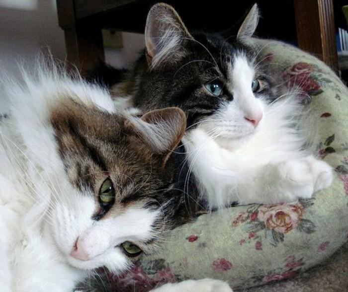 chat-maine-coon-deux-chats-maine-coon-en-gris-et-blanc