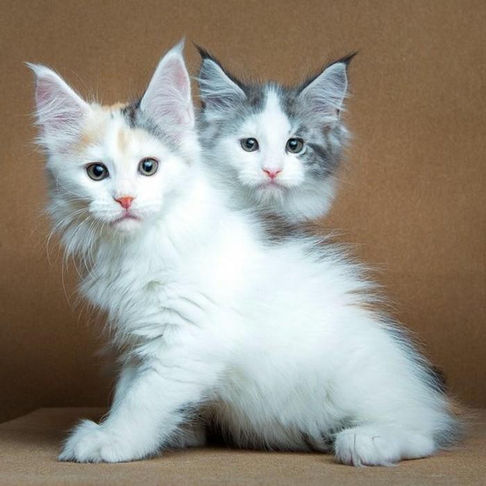 chat-maine-coon-deux-maine-coon-angeliques