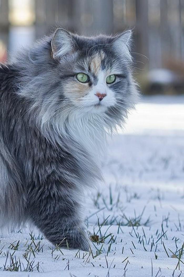 chat-maine-coon-faisant-sa-promenade-un-chat-venant-des-fermes-de-maine